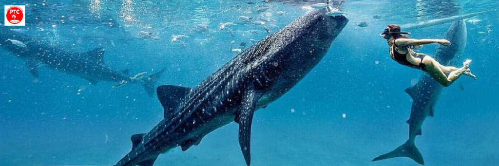 Плавание с китовыми акулами на Палаване.
