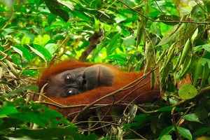 Суматранский орангутан . Букит Лаванг.