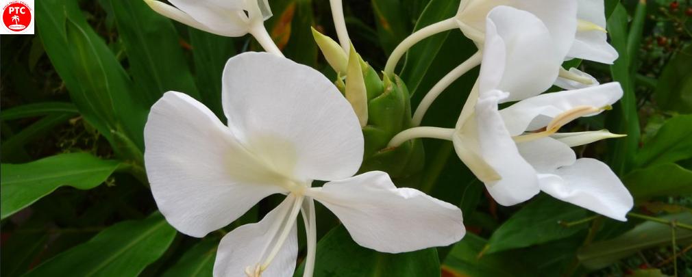 Орхидея «Бабочка» - символ Кубы.