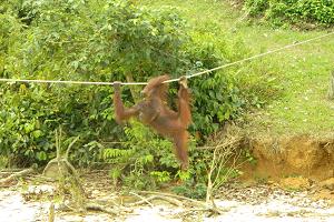 Остров орангутанов в Пенанге. Малайзия.