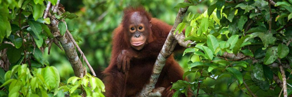 Суматра. Орангутан.